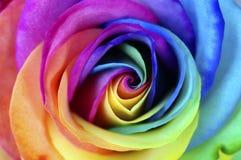 Закройте вверх цветка радуги розового Стоковые Изображения