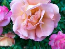 Закройте вверх цветка розы пинка Стоковые Изображения