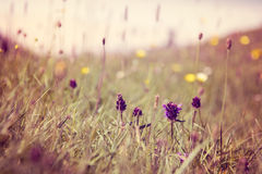 Закройте вверх цветков весны, Luskentyre, острова Херриса, Hebrides, Шотландии Стоковые Фотографии RF