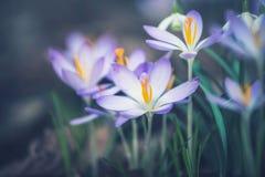 Закройте вверх цветков крокусов, внешний Стоковые Изображения RF