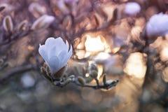 Закройте вверх цветков магнолии стоковые фотографии rf