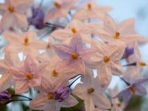Закройте вверх цветков малой звезды белых Стоковое Изображение RF