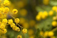 Закройте вверх цветков мимозы Стоковое Изображение RF