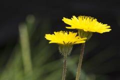 Закройте вверх цветков одуванчика на поле перед задней частью темноты Стоковая Фотография