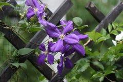 Закройте вверх цветков clematis стоковое фото