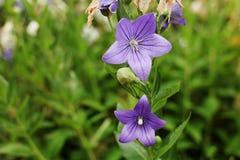 Закройте вверх цветков Platykodon пурпура внешнего стоковые фотографии rf
