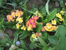Закройте вверх цветков primula в саде Красочные цветки первоцвета just rained Садовничать Украины Стоковое фото RF