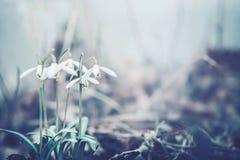 Закройте вверх цветков snowdrops, природы времени весны внешней Стоковое Изображение RF