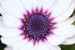 Закройте вверх центра африканской маргаритки с цветнем Стоковые Фото