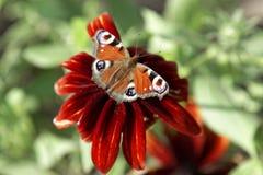 Закройте вверх чешуекрылые бабочки на красном цветке георгина Стоковое фото RF