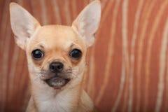 Закройте вверх щенка чихуахуа на софе, 4 месяцах старой женщины Стоковая Фотография