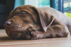 Закройте вверх щенка retriever labrador шоколада, 3 месяцев старых, sl стоковое фото rf