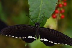 Закройте вверх экзотической бабочки Стоковые Фотографии RF