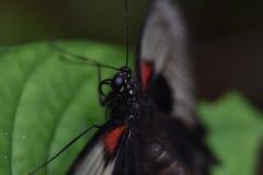 Закройте вверх экзотической бабочки Стоковое Изображение RF