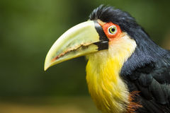 Закройте вверх экзотической Зелен-представленной счет птицы Toucan Стоковое Фото