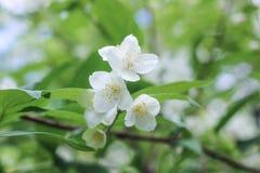 Закройте вверх яблони лета зацветая Стоковая Фотография RF