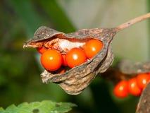 Закройте вверх ягод оранжевого красного цвета в стручке завода Стоковые Изображения RF