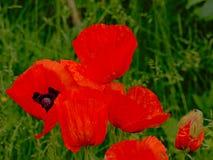 Закройте вверх ярких красных больших цветков мака с потеками дождя Стоковая Фотография