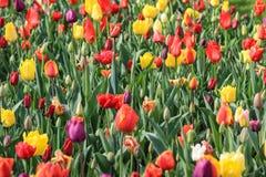 Закройте вверх ярко покрашенного поля тюльпана стоковое фото rf