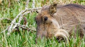 Закройте вверх africanus Phacochoerus общее warthog Стоковая Фотография