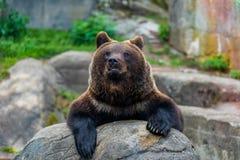 Закройте вверх arctos больших ursus бурого медведя Стоковые Изображения RF