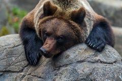 Закройте вверх arctos больших ursus бурого медведя Стоковое Изображение