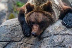Закройте вверх arctos больших ursus бурого медведя Стоковые Изображения