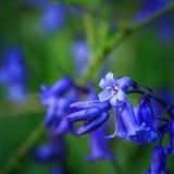Закройте вверх bluebell стоковые фото