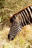 Закройте вверх Burchell& x27; еда зебры s Стоковое Изображение RF