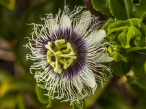 Закройте вверх caerulea пассифлоры Стоковое Изображение