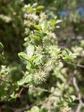 закройте вверх catkin весны белого на ветви зеленого цвета цветения бутона дерева Стоковое Фото