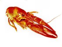 Closup изолированных crawfish Стоковое фото RF