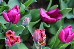 Закройте вверх crenated розовых тюльпанов стоковая фотография rf