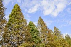 Закройте вверх distichum Taxodium кипариса красочной осени облыселого Стоковая Фотография