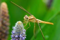 Закройте вверх Dragonfly собирая цветень Стоковое Изображение RF