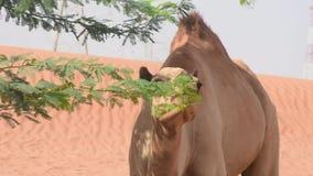 Закройте вверх dromedarius Camelus верблюда дромадера идя и есть в песчанных дюнах пустыни ОАЭ около Ghaf видеоматериал