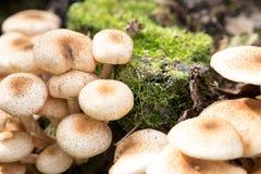 Закройте вверх Eatable пластинчатых грибов меда грибов Стоковое Изображение RF