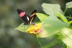 Закройте вверх erato Heliconius бабочки красного почтальона тропического Стоковая Фотография RF
