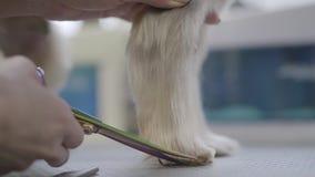 Закройте вверх groomer любимца рука режет небольшие волосы собаки на лапке с ножницами в салоне groomers Профессиональная животна сток-видео