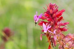 """Закройте вверх Henderson \ """"звезды стрельбы s (hendersonii Primula); Индийский цветок воина (densiflora Pedicularis) на заднем пл стоковое изображение"""