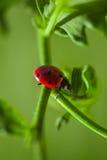 Закройте вверх Ladybird-Ladybug гуляя на лист ` s завода во время весны Стоковая Фотография