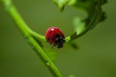 Закройте вверх Ladybird-Ladybug гуляя на лист ` s завода во время весны Стоковые Изображения