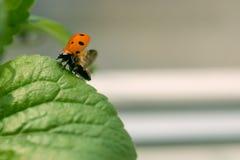 Закройте вверх ladybug принимая полет Стоковая Фотография RF