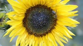 Закройте вверх mellifera Apis пчел меда опыляя желтое annuus подсолнечника солнцецветов в саде на временени сток-видео