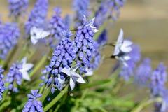 Закройте вверх Muscari виноградного гиацинта и весны Starflowers Стоковые Изображения RF