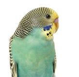 Закройте вверх parakee волнистого попугайчика Стоковые Изображения RF