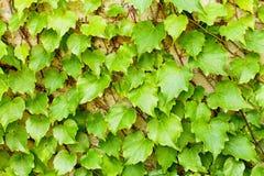 Закройте вверх quinata виноградин стоковая фотография
