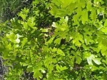 Закройте вверх scrub дуб в norther Юте Стоковые Изображения