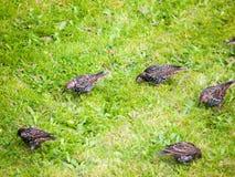 Закройте вверх starlings на траве снаружи в еде сада Стоковые Изображения RF