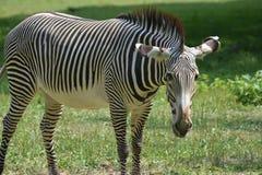 Закройте вверх striped зебры в поле Стоковое фото RF